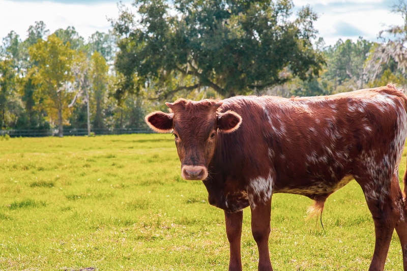 Florida Cracker Cattle For Sale | Two Son Farm